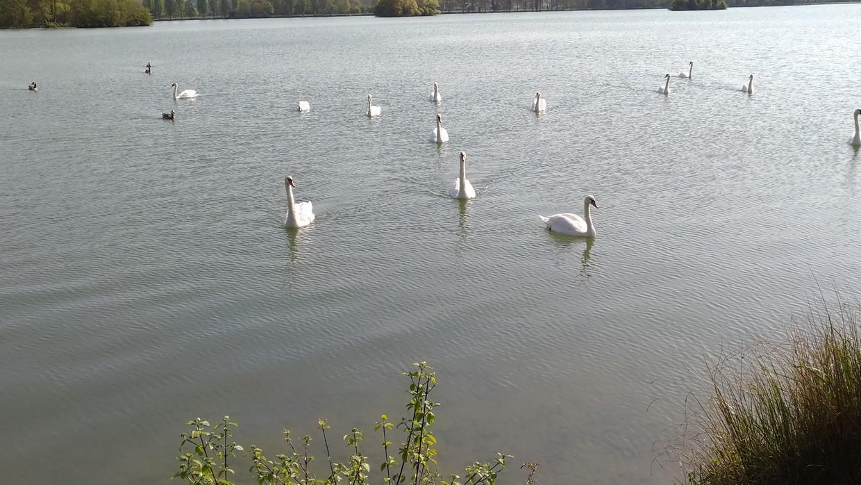 cygnes sur le lac d'Ecluzelles